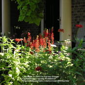 Location: Cincinnati, OhioDate: Auguust 2008There is no brighter red than lobelia cardinalis in sun