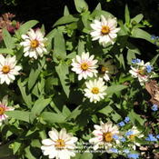 Location: Cincinnati, OhioDate: June 2010Zinnia Zahara Starlight Rose