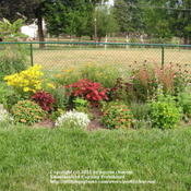 Location: Cincinnati, OhioDate: August 2011Allysum Clear Crystal white makes a nice front of the border spla