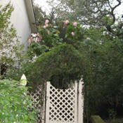 Location: Austin ,TXDate: 2009-11-01Confederate RoseTree, about 15 ft. tall