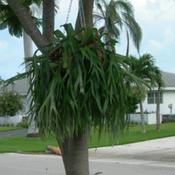 Location: Southwest FloridaDate: summer 2010These plants ideally live in the crook of a tree, or ha