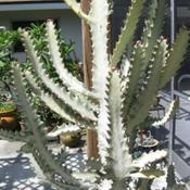 Location: Southwest FloridaDate: summer 2011This will soon get too big for its pot.