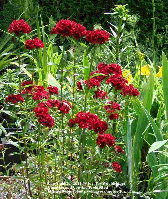 Photo of Sweet William (Dianthus barbatus) uploaded by Joy
