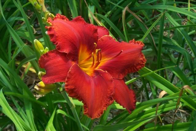 Photo of Daylily (Hemerocallis 'Apache War Dance') uploaded by Newyorkrita