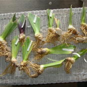 Location: Pleasant Grove, UtahDate: 2011-08-03Tall Bearded Iris rhizomes ordered from a California hy