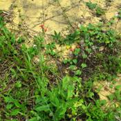 Location: Paraty, BrazilDate: 2010-01-26Growing in the wild on stony and sandy soil..