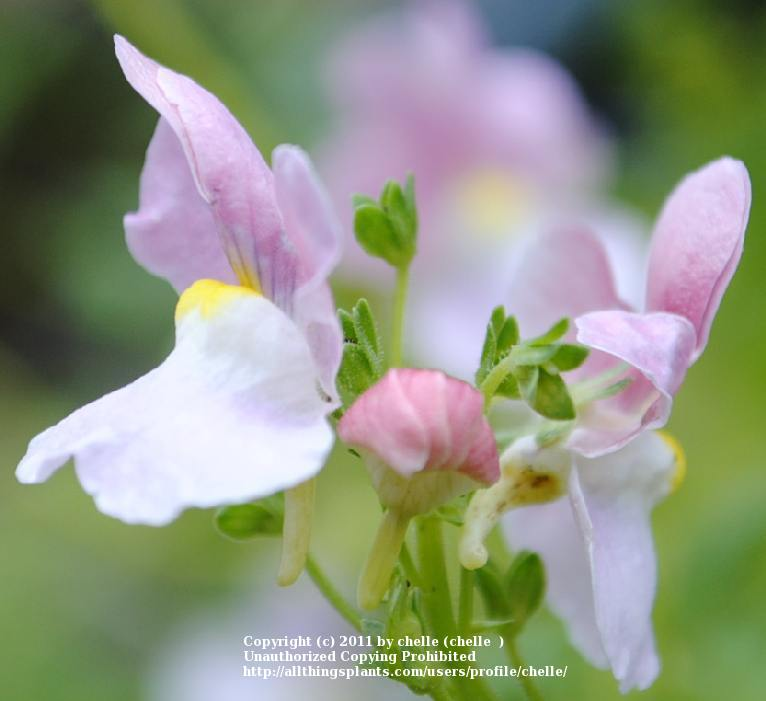 Photo of Nemesia (Nemesia fruticans Innocence® Opal) uploaded by chelle