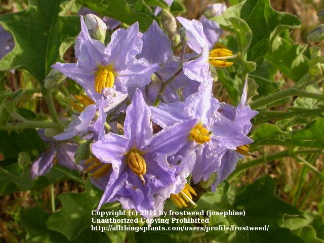 Photo of Western Horse-Nettle (Solanum dimidiatum) uploaded by frostweed