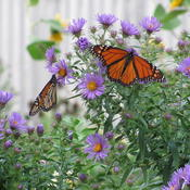 Location: central IllinoisDate: 2010-09-18Monarch magnet in September