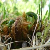 Location: Ontario, Canada Zone 5aDate: 2008-05-25just starting to emerge in the Spring