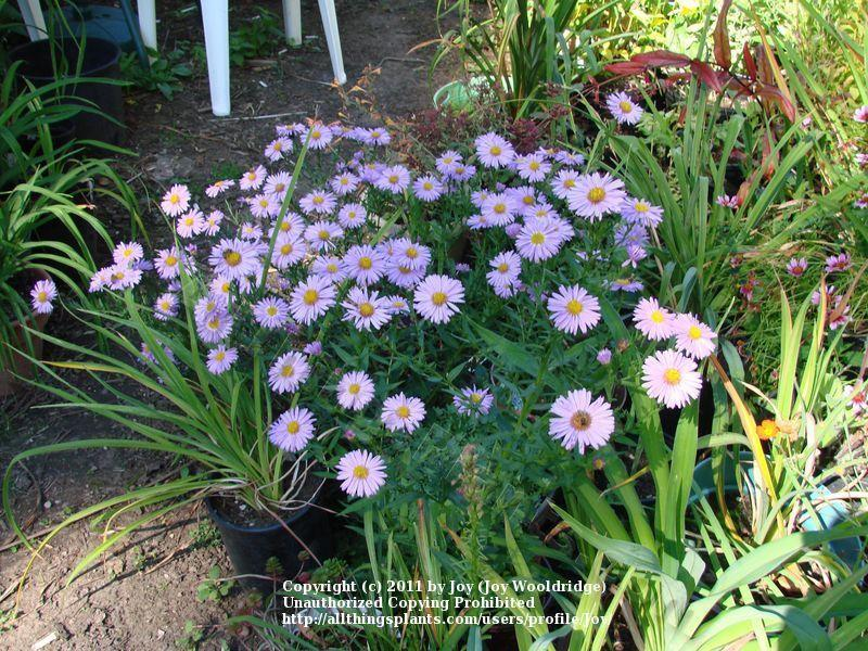 Photo of Asters (Aster) uploaded by Joy