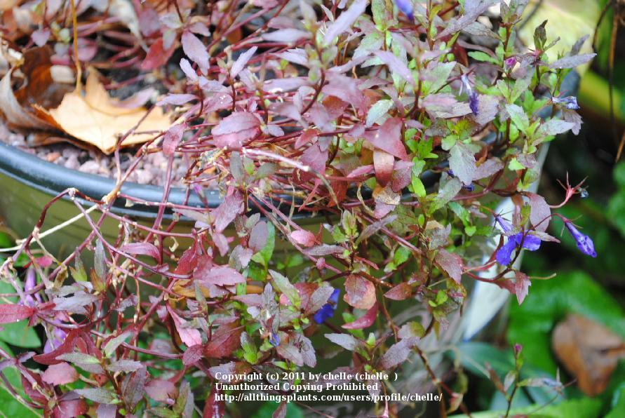 Photo Of The Entire Plant Of Edging Lobelia Lobelia Erinus Crystal