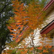 Location: My yard in Arlington, Texas.Date: Fall 2009The color is amazing in the fall.
