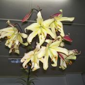 Location: Claremont Lilium Show- TasmaniaDate: jan 2011moonlight x buttercurls