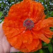 Location: Ontario, CanadaDate: 2009-06-01showing how large the flowers are!