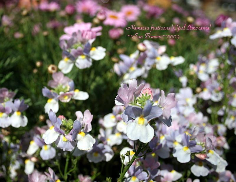 Photo of Nemesia (Nemesia fruticans Innocence® Opal) uploaded by Calif_Sue