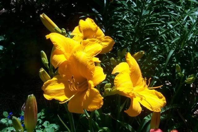 Photo of Daylily (Hemerocallis 'Spellbinder') uploaded by Newyorkrita
