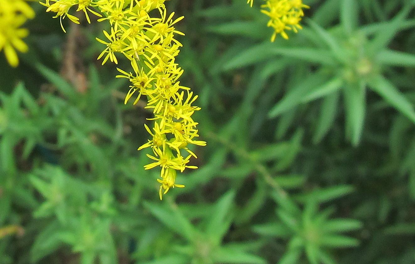 Photo of Tall Goldenrod (Solidago altissima) uploaded by jmorth
