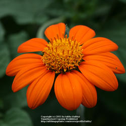 Showy Mexican Sunflowers