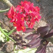 Location: Southwest FloridaDate: summer 2010red variety of this easy ground orchid.