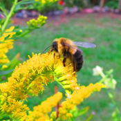 Location: central IllinoisDate: 2011-09-19Bee appreciative...