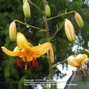 Location: Willamette Valley OregonDate: 2011-07-11 Seed grown pendant Asiatic lily.  Moby's Swan Dive.  I am propaga