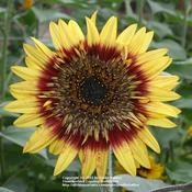 Location: My Garden, Arvada, ColoradoDate: JulySunflower - variety Tiger's Eye Mix from Seeds of Chang