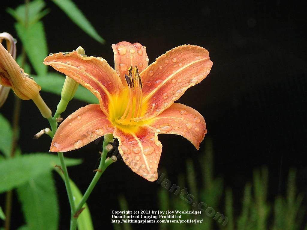 Photo of Ditch Lily (Hemerocallis fulva) uploaded by Joy