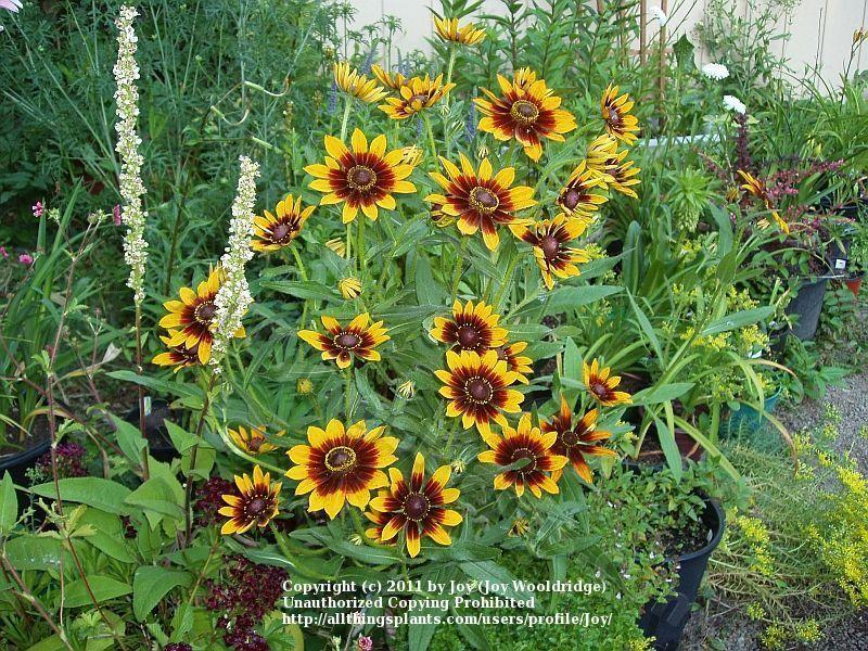 Photo of Black Eyed Susans (Rudbeckia) uploaded by Joy