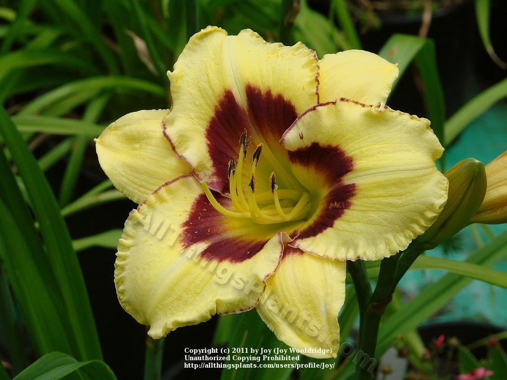 Photo of Daylily (Hemerocallis 'El Desperado') uploaded by Joy