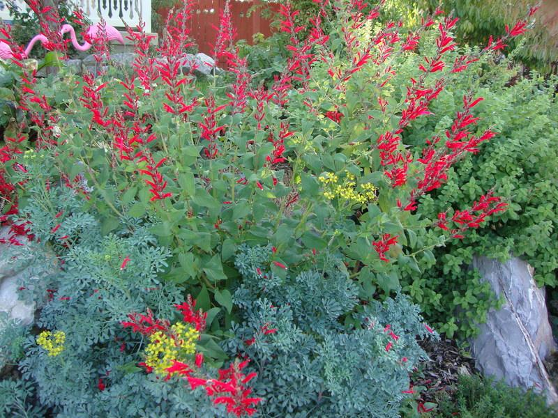 Photo of Pineapple Sage (Salvia elegans) uploaded by Paul2032