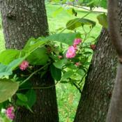 Location: Western KentuckyDate: May 2011Growing up the redbud tree