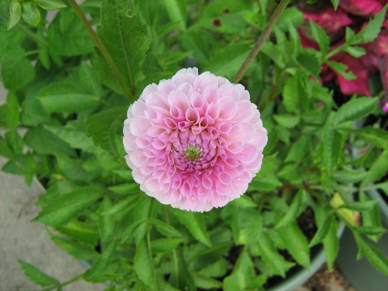 Photo of Dahlias (Dahlia) uploaded by gardengus