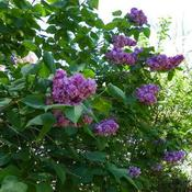 Old fashioned lilacs.