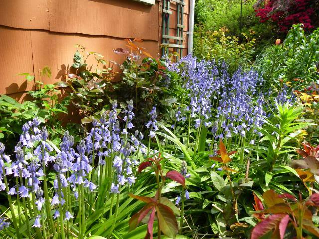 Photo of Spanish Bluebell (Hyacinthoides hispanica) uploaded by Newyorkrita