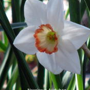 Location: NantucketDate: 2010-04-22Narcissus Division 2 Large cupped