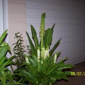 Location: central IllinoisDate: summer 2006campares to typical Eucomis
