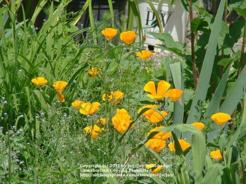 Photo of California Poppy (Eschscholzia californica) uploaded by Joy