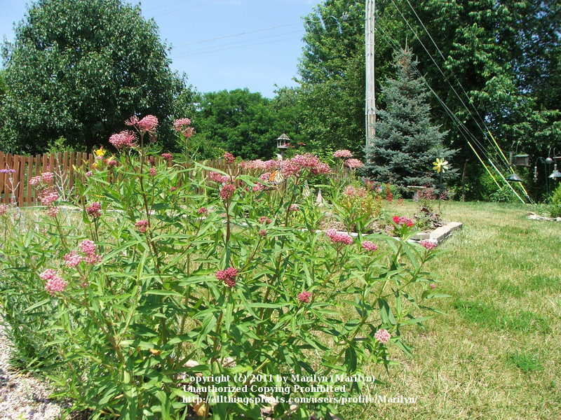 Photo of Swamp Milkweed (Asclepias incarnata 'Soulmate') uploaded by Marilyn