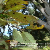 Location: zone 8/9 Lake City, Fl.Date: 2011-10-29underside of leaves in the fall before turning