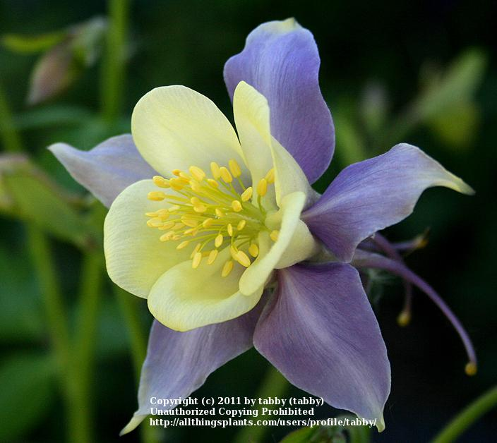 Columbines Plant Care And Collection Of Varieties Garden Org