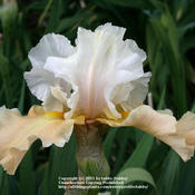 Location: My Garden, Arvada, ColoradoDate: MayPurchased from Iris4U in Denver