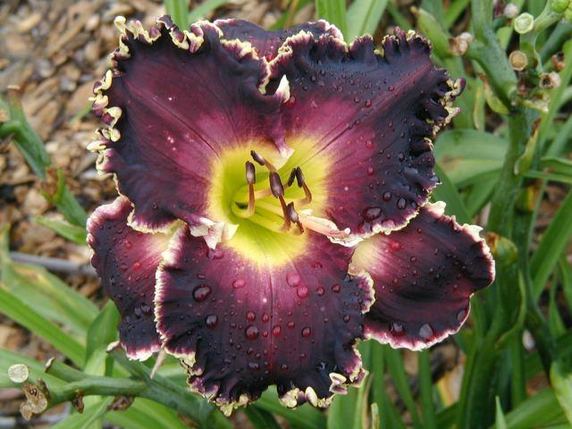 Photo of Daylily (Hemerocallis 'Soli Deo Gloria') uploaded by Calif_Sue