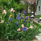 Location: In my front yard. Date: 2011-05-22Iris corner blooming.