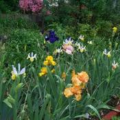 Location: My backyard. Date: 2011-05-23Dutch and Tall Bearded Iris in bloom.