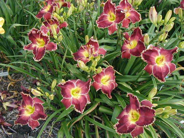 Photo of Daylily (Hemerocallis 'Born to Reign') uploaded by Calif_Sue