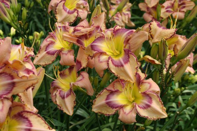 Photo of Daylily (Hemerocallis 'Handwriting on the Wall') uploaded by Calif_Sue