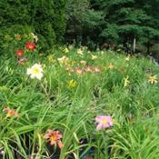 Location: Kalama, WaDate: 2011-07-15Potted Daylily bed
