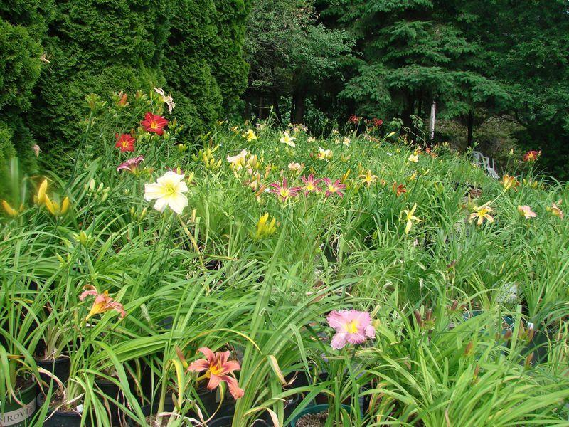 Photo of Daylilies (Hemerocallis) uploaded by Joy