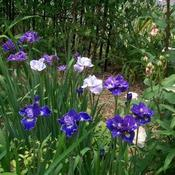 Location: In my garden. Siberian Iris Blooms.